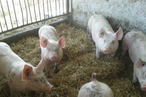 rabenwald-schweine-2