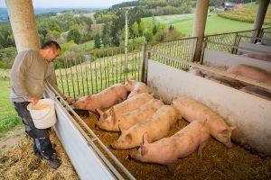 rabenwald-schweine